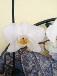 My beautiful Orchid - Blooming in my sunroom.