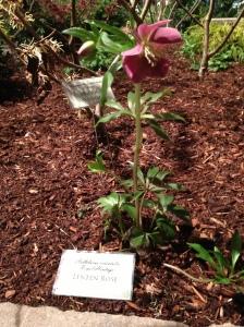 Lenten Rose
