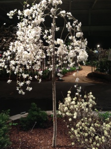 Weeping Cherry