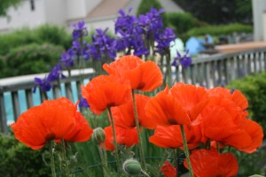 Iris and Poppies