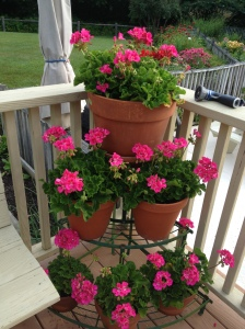 my geraniums are finally blooming
