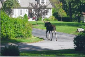 moose in the yard