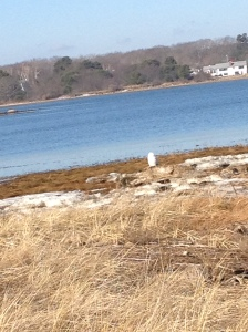Snowy Owl - Biddeford Pool