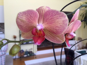 thinking of Spring flowers.  This is the second re-bloom for this orchid.